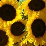Самое солнечное растение
