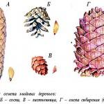 Шишки и семена хвойных деревьев