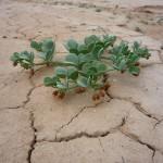 Растение пустыни