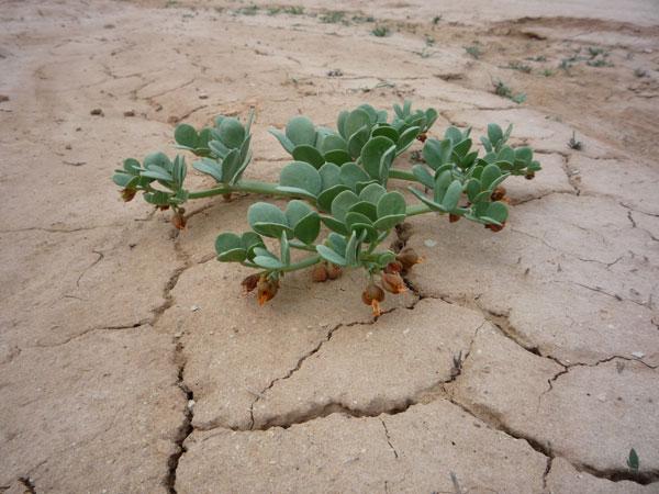 Как могут растения в пустыне жить без